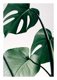 Monstera three Poster in the group Prints / Floral at Desenio AB (8722)