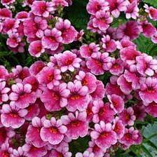 немезия розовая фото