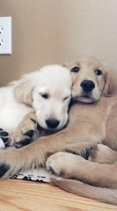 ff9f8a57 Golden retrievers Cute Dogs Breeds, Cute Animal Photos, Retriever Puppy,  Baby Animals,