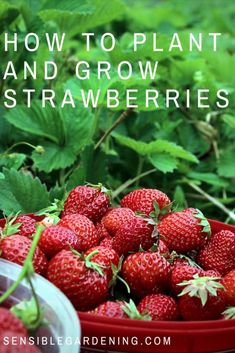 How to plant and grow strawberries with Sensible Gardening. Everything you need to know to grow a delicious crop of strawberries.