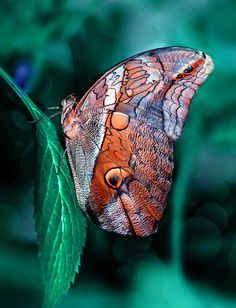 Owl butterfly Caligo by Mustafa Öztürk