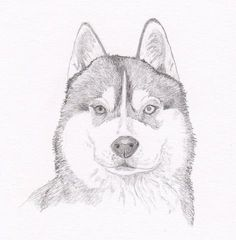 Siberian Husky Signed Personalized Original Pencil Drawing Double Matted Print -Free Shipping- Desert Impressions on Etsy, $14.17 AUD