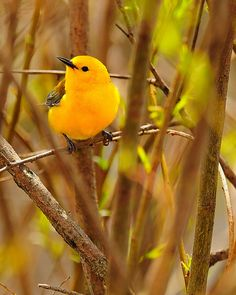 The Prothonotary Warbler breeds in hardwood swamps in extreme southeastern Ontario and eastern U.S. It winters in the West Indies, Central America and northern South America. The male often builds several incomplete, unused nests in his territory but the female builds the real nest. (Photo by Dennis Derby)