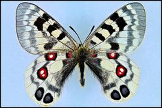 Parnassius Imperator -Male -China -(2.5 in wingspan)