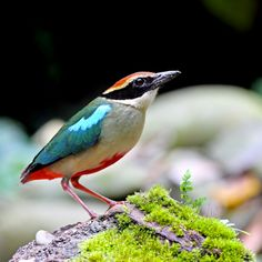 FAIRY PITTA. Pittas