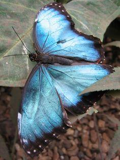 I <3 butterflies, especially blue ones
