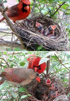 Cardinals nesting