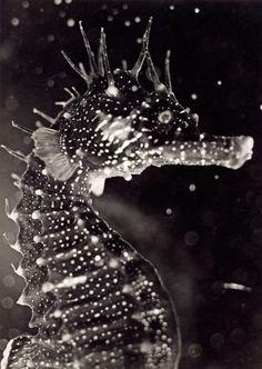 Jean Painleve - L'Hippocampe 1934