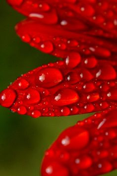 red flower petals with droplets