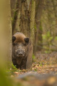 Wild boar by Edwin Kats Animals Of The World, Animals And Pets, Cute Animals, Wild Boar Hunting, Pig Hunting Dogs, Natur Tattoos, Wild Creatures, Tier Fotos, Wild Nature