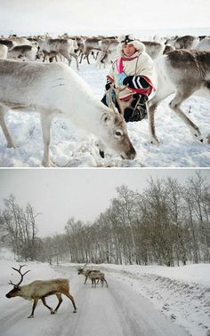 The Sami, Indigenous Peoples of Scandinavia & 'The Reindeer Walkers'