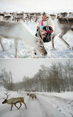 The Sami, Indigenous Peoples of Scandinavia & 'The Reindeer Walkers'
