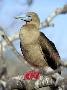 We saw these at a sanctuary in Belize........hundreds of them....Red-Footed Booby: Smallest of the boobies, the red-foot feeds at sea, nests on the ground, and perches in coastal trees