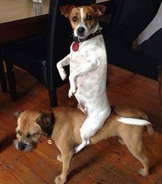 'Look I've got my own Horse Mum' - Border Terrier and Jack Russell Dog