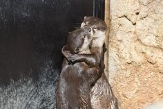 Otters Hug and Kiss 1