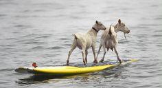 Surffaavat vuohet. Dana McGregorin lemmikkivuohet Pismo ja Goatee surffaavat San Onofre State Beachilla Kaliforniassa. Kaikki alkoi, kun McGregor otti Pismon emon Goateen mukaansa rannalle. Eikä aikaakaan, kun vuohi kiipesi surffilaudalle. McGregorin mukaan myös Goateen poikanen Pismo halusi pian surffilaudalle. Omistajan mukaan molemmat vuohet tuntuvat nauttivan harrastuksestaan.