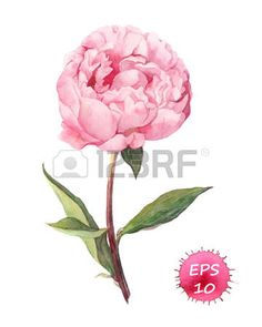 blooming flowers: Peony flower. Watercolor botanic illustration, vector isolated