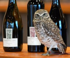 Burrowing Owl - The Wine Selection