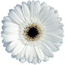 White Gerbera Daisies sold in bulk in lots of ten stems; $1.89