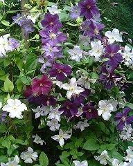 clematis; pale blue: Blekitny Aniol, reddish-purple: Star of India, pale blue: Silia, white: Jerzy Popieluszko garden