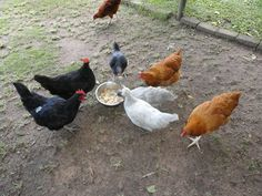Lots of feeding ideas that cut down on the cost of feed. Who knew chickens love cheese?