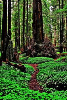 Jedidiah Smith State Park section of the coastal redwoods in northern California by Benjamin Yeager