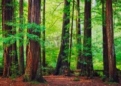 Redwood Trees in Forest, Nor via MuralsYourWay.com