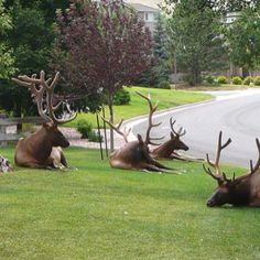 STREET GANGS IN CALGARY. It's gangs like these that the people of Calgary have to put up with. They Roam the streets and yards night and day. They hang out in even the best neighborhoods!and you CANNOT (legally) stop them. Calgary, Vancouver, Quebec, Ontario, Helena Montana, Toronto, Canadian Things, Canada Eh, Big Sky Country
