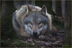 Grey wolf watching me