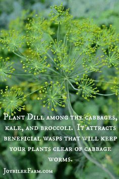 Plant dill with cabbage, kale broccoli to attract wasps repel worms.