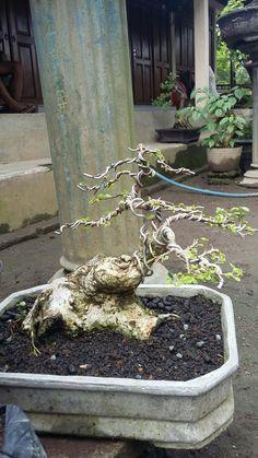 Bonsai Wire, Bonsai Plants, Bonsai Garden, Bonsai Tree Care, Indoor Bonsai Tree, Bonsai Making, Mame Bonsai, Plantas Bonsai, Live Plants