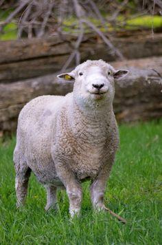 微笑的羅姆尼羊-Smiling Romney Ram
