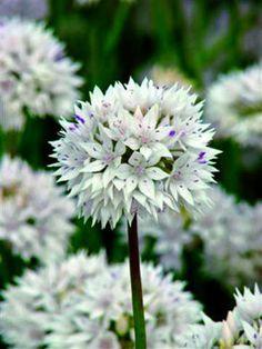 Allium - Graceful