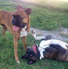 In a playful mood at Hamilton SPCA Dog Park - Hamilton, ON - Angus Off-Leash #dogs #puppies #cutedogs #dogparks #hamilton #ontario #angusoffleash