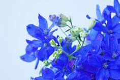 デルフィニウムの花画像