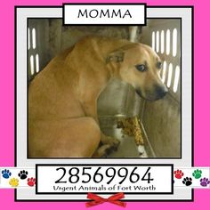 8/3 Urgent Dogs of Fort Worth - Please share and foster. ♥ Urgent Animals at Fort Worth Animal Care and Control **Fort Worth, TX - Current Status: IMMEDIATE TAG NEEDED - Scheduled for euthanasia 8/3 Reason for URGENT: Upper Respiratory Infection Animal ID: 28569964 Name: Momma Breed: Shepherd mix Sex: Female Weight: 45 lbs Personality 7:30: I met Momma yesterday. She seems to be opening up and was wagging her tail for me. I was able to pet her easily! - Deanna