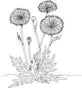 Papaveraceae Poppy Flower coloring page from Poppies category. Select from 24104 printable crafts of cartoons, nature, animals, Bible and many more.