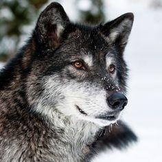 wolf, predator, face, eyes