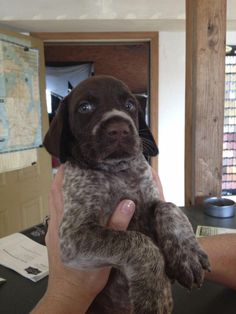Find Out More On Enthusiastic German Shorthaired Pointer Puppies Health Gsp Puppies, Pointer Puppies, Pointer Dog, German Dogs, German Shepherd Puppies, German Shepherds, I Love Dogs, Cute Dogs, Funny Dogs