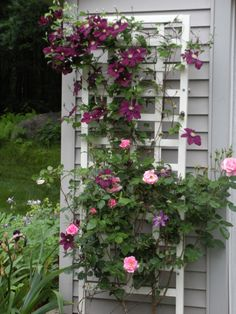Clematis and Roses in front of a gray shutter!
