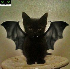 Bat kitten halloween 😸😻😸 www.youtube.com/c/WeMeow #cat #cats #wemeow #meow #catlife #cutecat #catlove #gatos #gatti #koty #katze #chats #kitty #kitten #kittens #lovecat #funnycat #catlooking #catofinstagram #catsoftumblr #catstagram #instapets #instacat #pet #pets #halloween #cathalloween #halloweencostume #happyhalloween