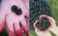 Love picking blackberries.