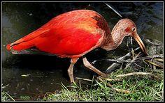 Rode vogel.