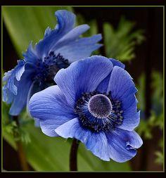 Windflower - Japanese Anemone | Flickr - Photo Sharing!