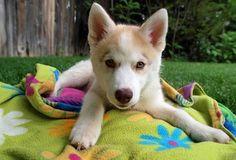 Beautiful Husky  Cute Animals
