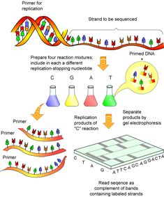 "DNA is the ""genetic blueprint"" that determines the genotypic make-up of each organism. In its barest form, DNA consists of two strings of nucleotides, or bases (abbreviated A, C, G, and T), wound around each other. The bases composing DNA have specific binding capabilities: A always binds to T, and C always binds to G. These binding capabilities are useful for scientists to understand since, if the nucleotide sequence of one DNA strand is determined, complementary binding allows the sequence…"