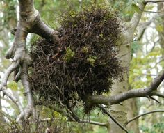 Witch's Broom - just one of many such clusters of tiny twigs growing on one tree