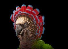 The Biodiversity Project by Joel Sartore - A hawk-headed parrot (Deroptyus accipitrinus) at the Houston Zoo. Studio Portraits, Pet Portraits, Beautiful Birds, Animals Beautiful, Beautiful Pictures, Adorable Animals, Beautiful People, Houston Zoo, Bird Guides
