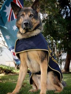 If not for a new policy of the Royal Australian Air Force Amberley, this handsome military hero would have been killed after his service to his country. Turk is first RAAF Amberley dog to go home with his handler instead of being killed.