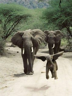Baby elephant | First flying steps (no manipulation. the baby is running and jumping, so he gets his ears up)